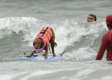 Purina Incredible Surf Dog Competition on Friday June 8th in Ocean Beach